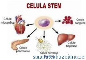 celula stem