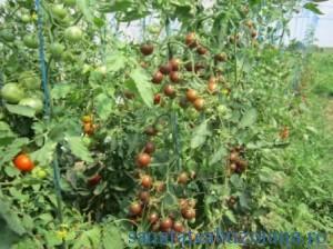 SCDL Buzau - tomate _1382