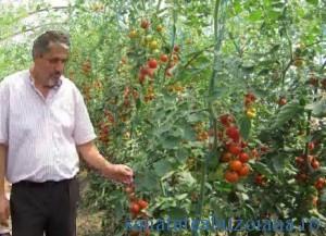 Vanatoru - tomate 1367