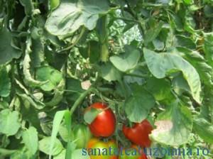 hibrid tomate romanesti 1374