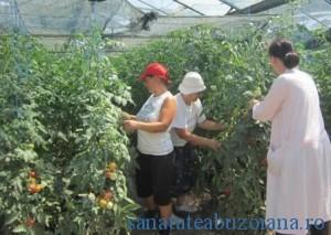 solarii tomate SCDL Buzau_1332