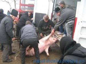 sacrificare porci