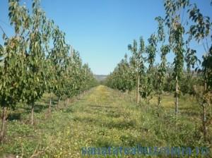 Marea provocare, plantatia de cires
