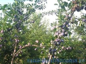 prune-livada