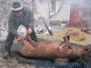 parlire-porc