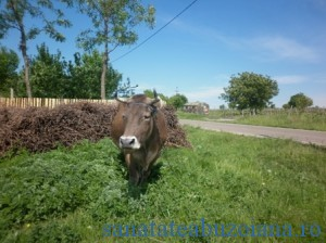 vaca Blajani-763