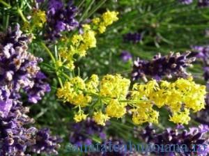 9(flori de sanziene)