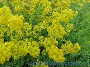 Sanziene1(flori)