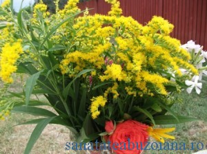 flori sanziene