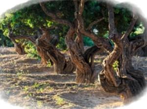 Arborele mastic