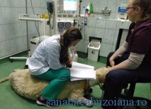 dializa berbec (3)