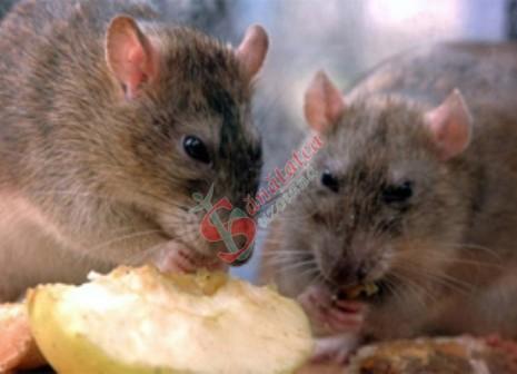 face ca șobolanul să piardă în greutate
